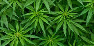 Medical Marijuana Spreads Across South America