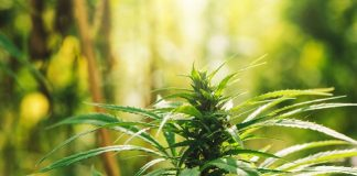 Conventional greenhouse producers increasingly pivoting into hemp sector