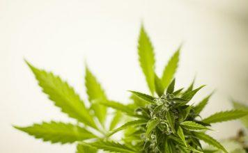 Zelda merger creates leading therapeutic medical cannabis company